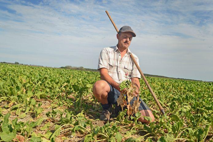 Kees Hanse op een perceel suikerbieten. De bladeren van het gewas hangen slap van de droogte.