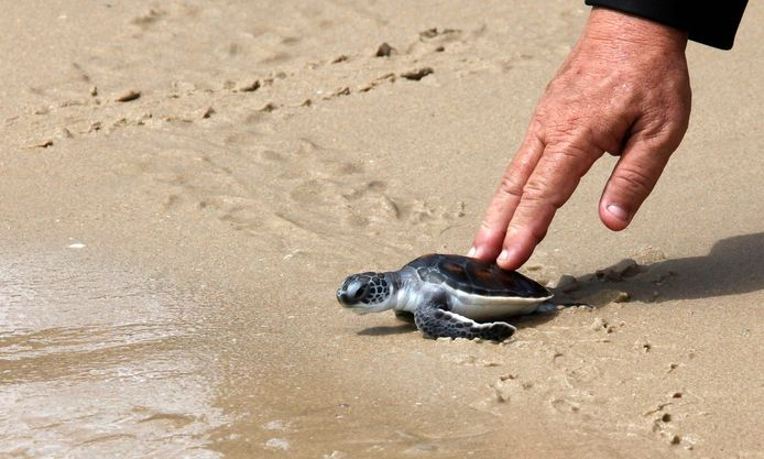 Een karetschildpad, archiefbeeld ter illustratie.