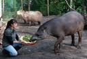 Dierenpark Wissel toen het nog open was: tapir Henk krijgt een vitaminerijke maaltijd.