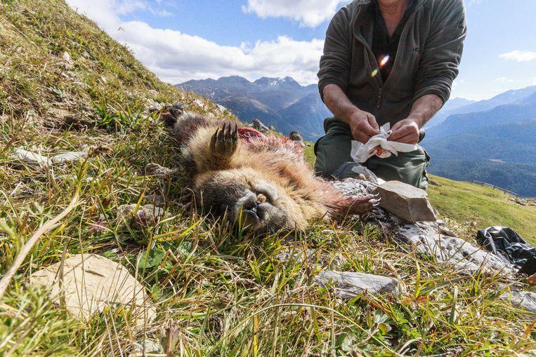 Rolf maakt een geschoten marmot meteen schoon. 'Morgen zijn alle restjes verdwenen.' Beeld Jonathan Vandevoorde