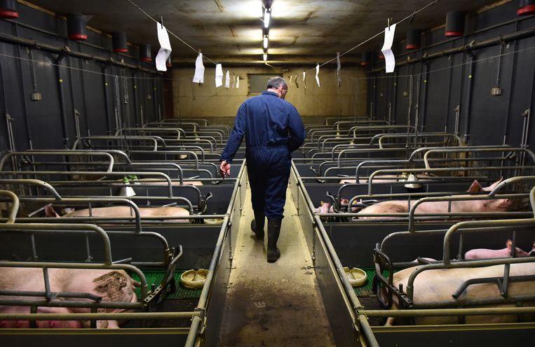 Een varkensboerderij in Horssen, april 2019. Beeld Marcel van den Bergh / de Volkskrant