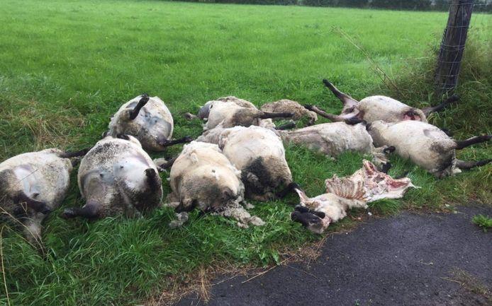 Une dizaine de moutons ont été attaqués dans la nuit de dimanche à lundi à Jalhay.