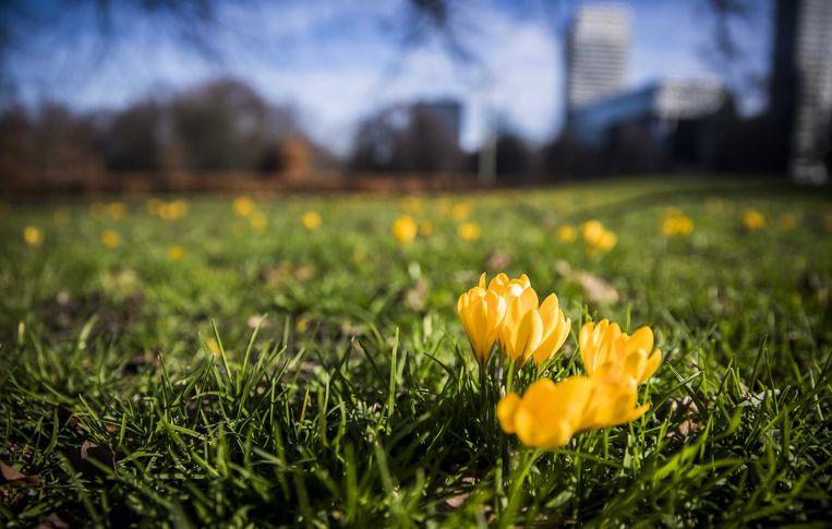 De krokussen staan al in bloei, midden februari. Is de lente dan echt begonnen? Beeld ANP