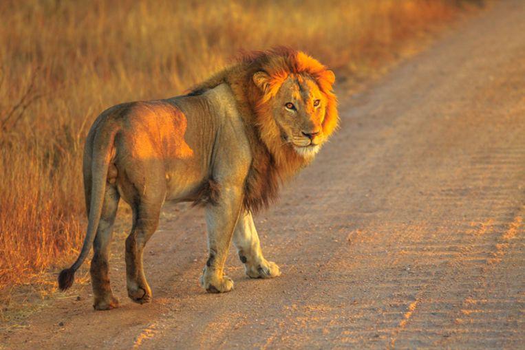 Een leeuw in het Krugerpark, illustratiebeeld.