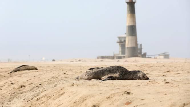 Mysterieuze robbensterfte in Namibië: nu al meer dan 7.000 dode dieren aangespoeld