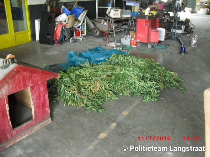 In de kwekerij werden 350 planten aangetroffen.