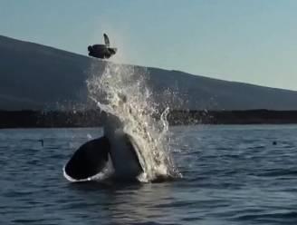 Indrukwekkende beelden tonen orka terwijl hij met zijn prooi speelt