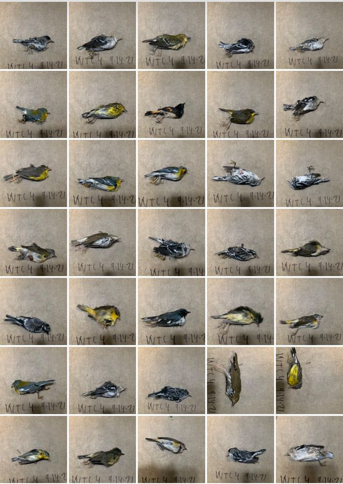 Voor deze vogels mocht hulp niet meer baten. Een greep uit de gevonden vogels op de stoep.