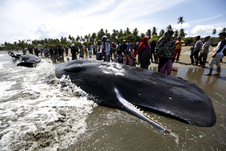 Vier van de tien potvissen die gisteren zijn aangespoeld in de Indonesische provincie Aceh zijn vandaag gestorven.