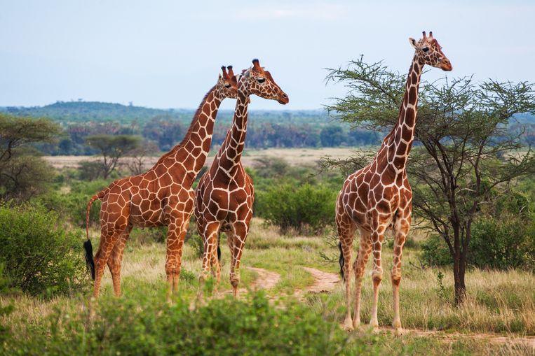 Tezamen sta je sterker dan alleen, en dat geldt ook voor giraffen. Beeld Getty Images/iStockphoto