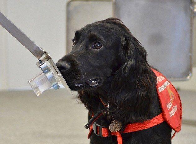 Door aan een urinestaal te ruiken, wisten honden prostaatkanker vast te stellen met een betrouwbaarheid van 98 procent.