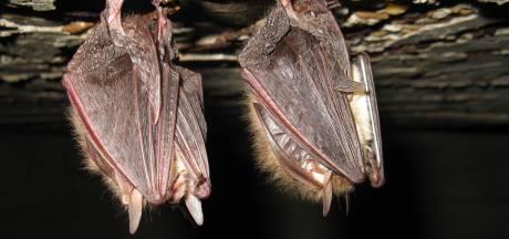 Of de vleermuis er nu zit of niet, aanpak zwembad Vlijmen moet wéér een jaar uitgesteld: 'Frustrerend'