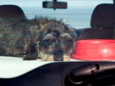 Dit is waarom je de komende dagen geen hond in je auto moet laten zitten