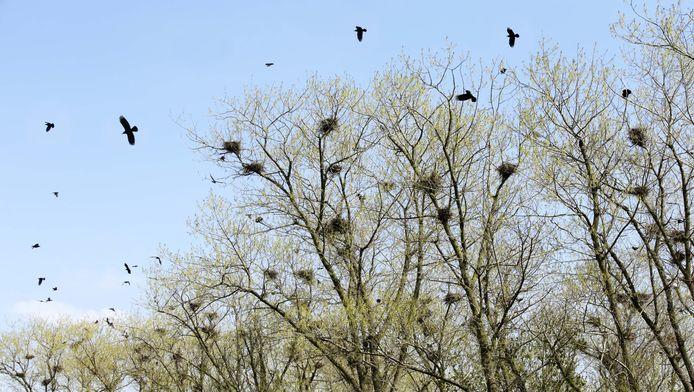 De roeken nestelen jaarlijks in het bos tussen Geervliet en Heenvliet.