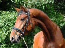 Twee gestolen paarden terug, maar Belle Amie is nog spoorloos