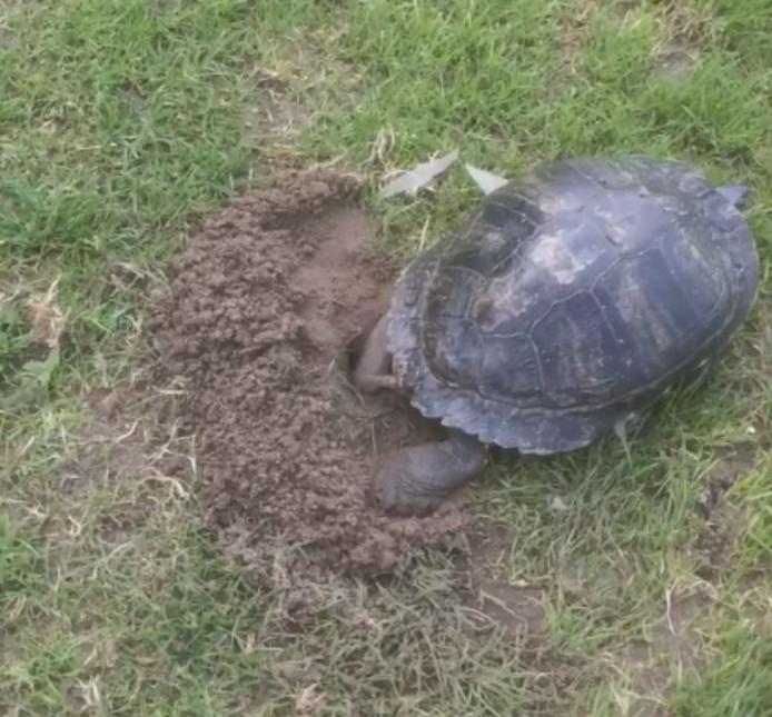 Een schildpad heeft een nest gemaakt op het voetbalveld van VV Asperen.
