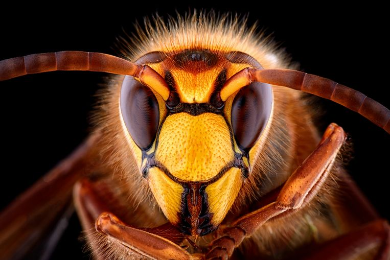 'Er zijn ongeveer 360 soorten wilde bijen die, samen met vlinders, kevers, wespen en andere insecten ook voor de bestuiving van planten zorgen.'  Beeld Getty Images/Westend61