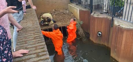 Elf eendjes vast achter rooster in Veldhoven, brandweer brengt ze terug bij moeder eend