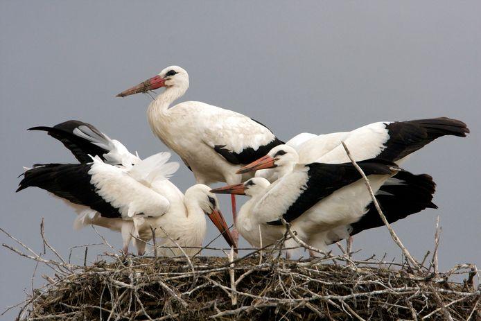 Via de camera's van Vogelbescherming Nederland zijn onder meer ooievaars te volgen.
