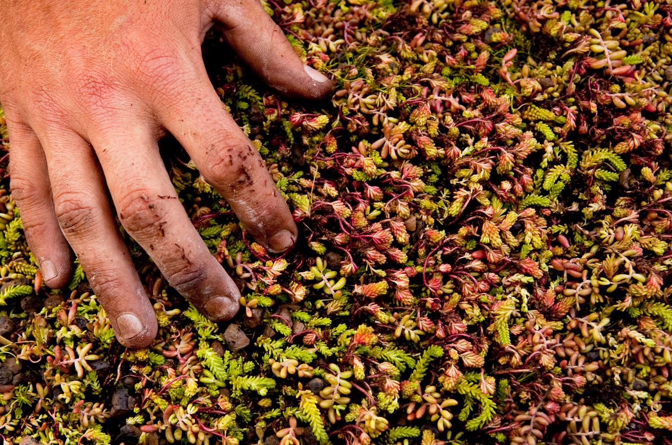 Sedum is een veelgebruikt plantje om daken mee te vergroenen.