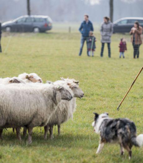 Twentse schaapherders: Doden wolf moet kunnen