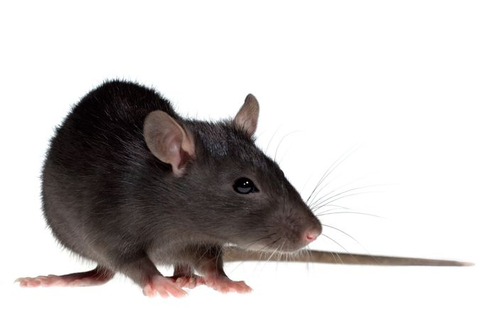 De politiek van Meierijstad wil dat de gemeente actiever wordt in rattenbestrijding, ook in het bestrijden van zwarte ratten.