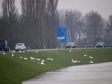 Hoogwater jaagt ganzen de dijk op bij Wijhe, gaan ze hun vorig jaar gevangen soortgenoten nu achterna?
