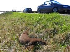 Steeds meer otters in Nieuwkoopse Plassen en die hebben een veilige oversteekplaats nodig