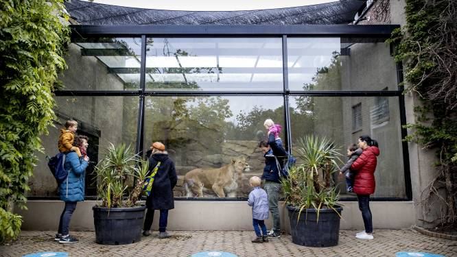 Nederlandse dierentuin Artis neemt noodgedwongen afscheid van leeuwen