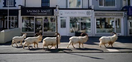 """Les chèvres sauvages de retour en ville: """"Elles viennent même chez Primark"""""""