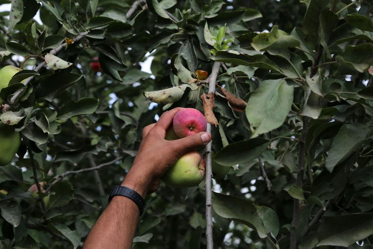 In de regio rond Perpignan, niet ver van de Spaanse grens, zijn recent al zeker tien fruit- en groentediefstallen geregistreerd door de politie.  Beeld NurPhoto via Getty Images
