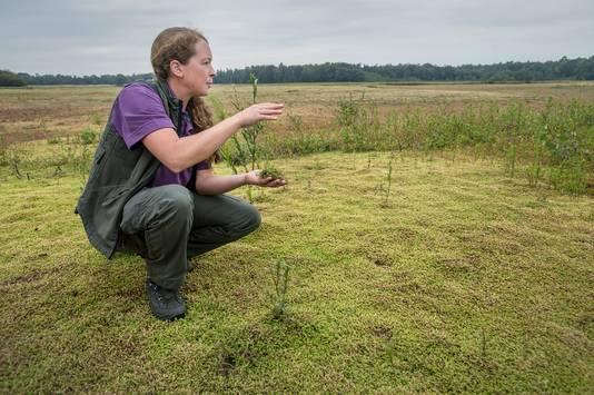 """In het drooggevallen ven van natuurgebied Het Merkske verdrijft Australische watercrassula alle inheemse soorten. Boswachter Liza van Velzen: ,,Je bent als de dood dat het zich nog verder verspreidt."""""""