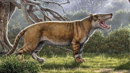 Grootste vleesetende zoogdier was kruising tussen leeuw en tijger