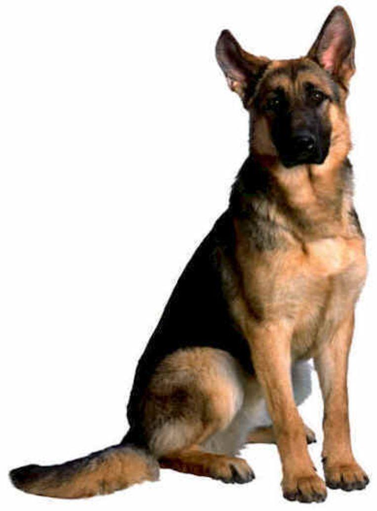 Duitse Herder Meest Israelische Hond Bizar Hln