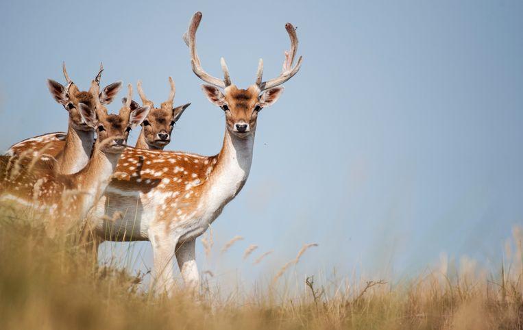 Een van de problemen is dat de damherten de Waterleidingduinen kaalvreten, wat slecht is voor andere fauna en flora in het Natura 2000-gebied.  Beeld Hollandse Hoogte /  ANP