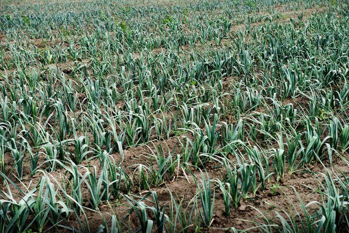 De beklaagde vernielde een veld met preiplanten.