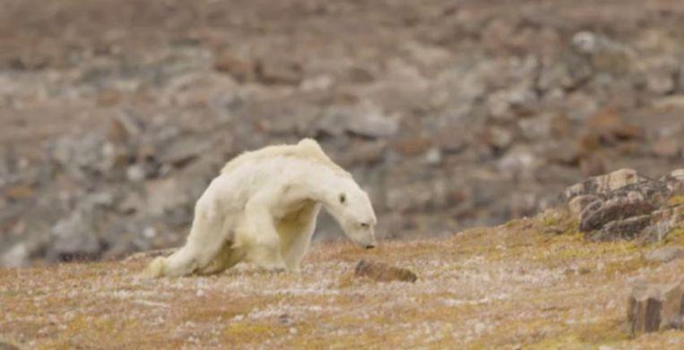 De beelden van een uitgemergelde ijsbeer gingen de wereld rond.