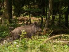 Wild zwijn valt gezin van Wout (40) aan op Hoge Veluwe: 'Rennen! Rennen!'
