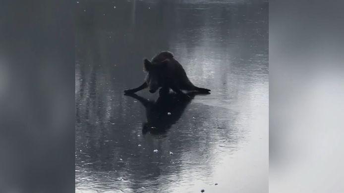 Un patineur aide un sanglier coincé sur un lac gelé.