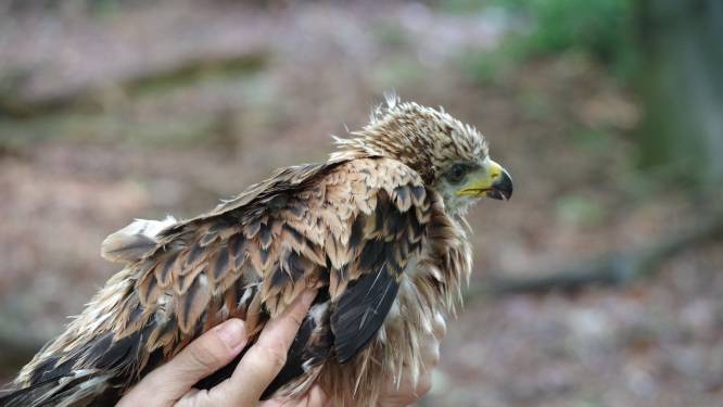 Zeldzaam roofvogelnest van rode wouw in Winterswijk: bijzonder voor de boerin, maar zorgwekkend volgens de expert
