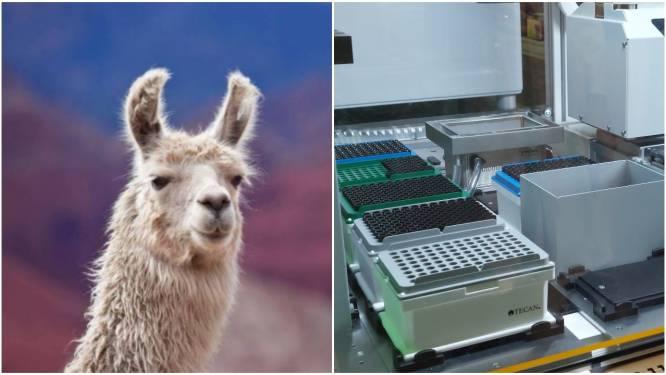 Van lama (of alpaca) tot labo: het Gentse Ablynx speelt al 20 jaar mee op topniveau