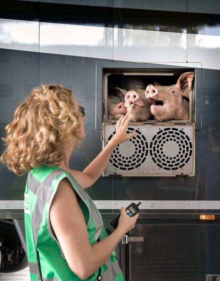 Lesley Moffat bij de varkens. Beeld Werry Crone