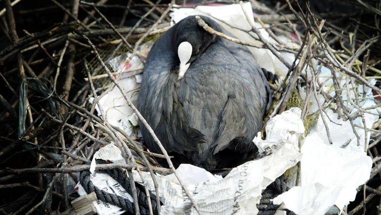 Een meerkoet heeft een nest gebouwd van takken, kranten en ander afval uit de stad Beeld ANP