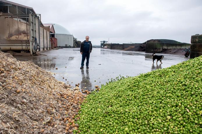 Agrariër Arie van der Knijff uit Zeewolde tussen de spruiten en de patatten die straks vergist worden tot biogas. Biogas van boeren kan sinds kort rechtstreeks geleverd worden op het netwerk van Liander. Van der Knijff is de eerste leverancier.