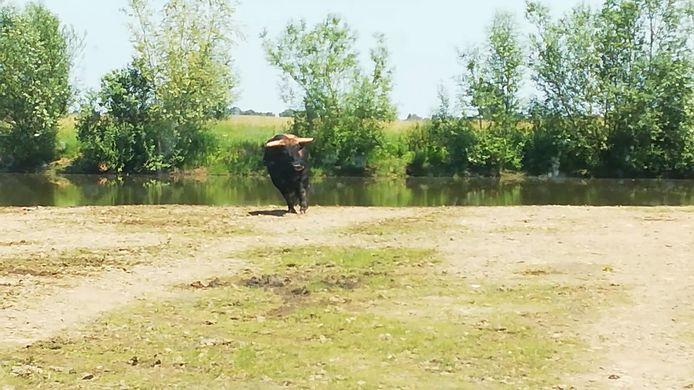 Screenshot uit de video waarop te zien is hoe een Tauros wordt geschoten omdat hij gewond blijkt. Een dierenarts heeft vastgesteld dat het dier krupel is en beter afgeschoten kan worden.