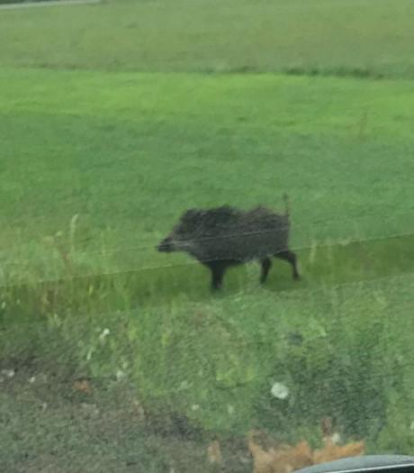 Hé, een wild zwijn in een wei bij Loosbroek?