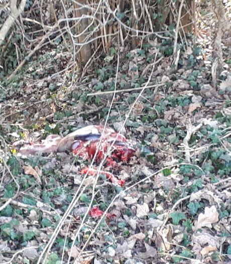 Wandelaars doen lugubere vondst in bos Winterswijk: resten van ree en twee ongeboren kalfjes