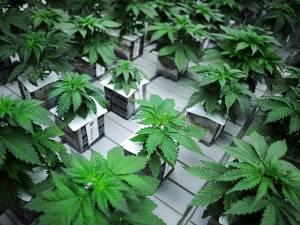 Tot 4 jaar cel voor cannabisplantage met 544 plantjes