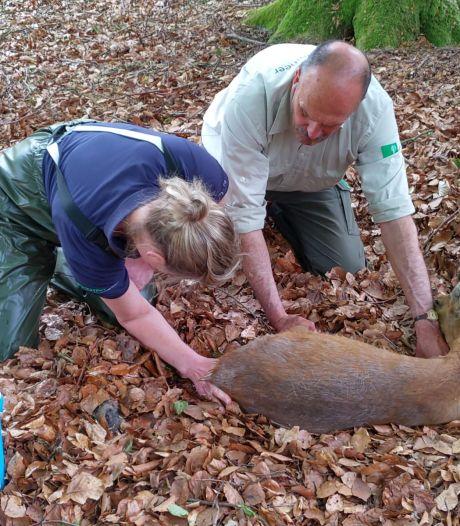 Boswachters redden bevallende reegeit in nood op Sallandse Heuvelrug