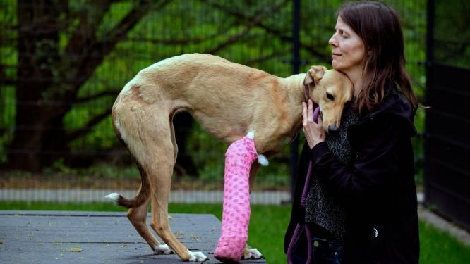 Pootje van verwaarloosde windhond Pippi alsnog geamputeerd: 'Ze zou altijd pijn houden'